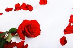 Rose mit den Blumenblättern Stockbilder