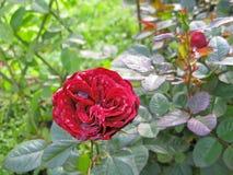 Rose mit den feuchten Blumenblättern Lizenzfreies Stockbild
