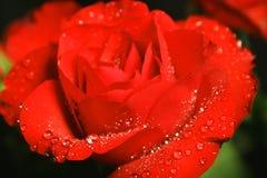 Rose mit Dung Lizenzfreie Stockbilder