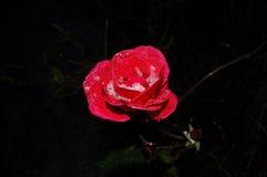 Rose mit Eiskristallen lizenzfreies stockbild
