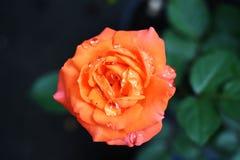 Rose mit Regen stockfoto
