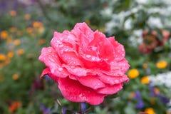 Rose mit Regentropfen Stockfoto