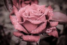 Rose mit Regentropfen, Weinlese Stockbilder