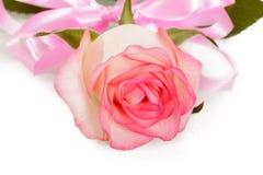 Rose mit rosa Band Valentinsgruß ` s Tag lokalisiert auf Weiß Stockfotografie