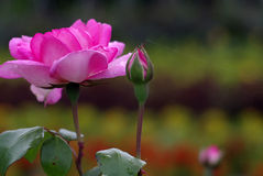 Rose mit Spinnennetzen Stockfoto