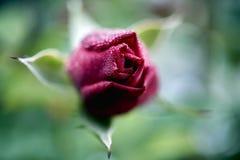 Rose mit Tau des frühen Morgens Stockfotos