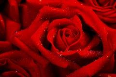 Rose mit Tautropfen Stockbild