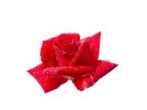 Rose mit Tautropfen Lizenzfreie Stockfotos