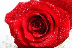 Rose mit Tropfen Stockbilder
