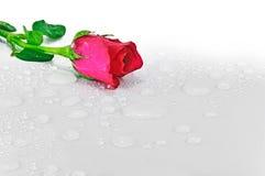 Rose mit Wasser fällt auf einen weißen Hintergrund. Stockfotografie