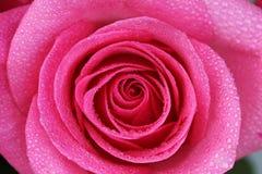 Rose mit Wassertropfen 1 stockfoto