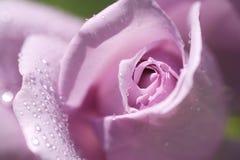 Rose mit Wassertropfen Stockfoto