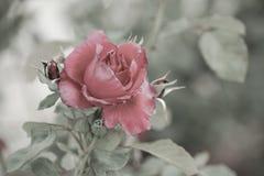 Rose mit Weinlesefarbe Lizenzfreies Stockbild