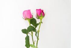 Rose mit zwei Rosa auf weißem Hintergrund Lizenzfreie Stockfotos