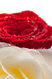 Rose mix with droplets Stock Photo