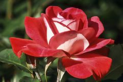 Rose `Molly McGredy`. Which has red and white petals Royalty Free Stock Photos