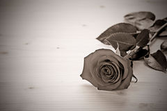 Rose in monochrome Royalty Free Stock Photo