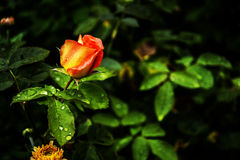 Rose with moorning dew. Flower over darkness waiting for one to come pick her Royalty Free Stock Photography