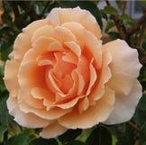 rose morelowy Fotografia Royalty Free