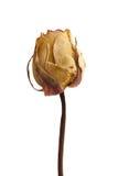 Rose morte Photographie stock libre de droits