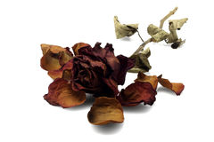 Rose morte photo libre de droits