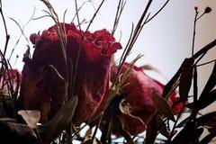 Rose morte contro fondo bianco immagini stock libere da diritti