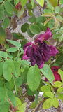 Rose morte sur une plante vivante photo stock