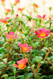Rose mose Stock Images