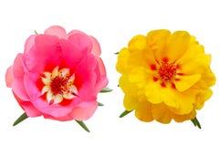 Rose Moss. Yellow and pink Portulaca  Moss Rose,  Purslane Flowers Royalty Free Stock Photo