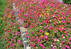 Rose Moss blooming Portulaca pilosa garden flowerbed. Royalty Free Stock Photos