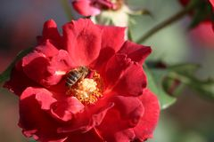 A blossoming rose with a bee stock photography