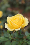 Rose. The most beautiful plants to gardening, home decoration, home decoration, commercial growers stock photo