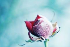 rose mrożone Zdjęcie Stock