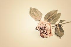 Rose muerta Marchitado se levantó Fotos de archivo