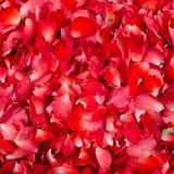 Rose multi petal background Royalty Free Stock Image