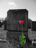 Rose On My Grave. Concept image showing both life and death Royalty Free Stock Photography