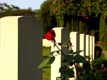 Rose n' Tombstones. A rose blooms in from of a tombstone in a cemetery Stock Photos