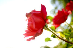 rose, na zawsze Obrazy Stock
