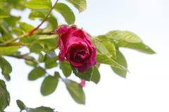 Rose nach dem Regen stockfoto