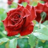 Rose nach Regen. Lizenzfreie Stockfotografie