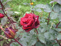Rose nach Regen Stockfoto