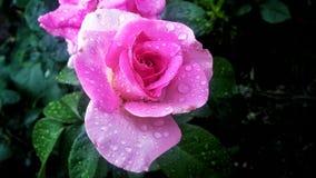 Rose nach Regen Stockfotografie