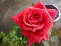 Rose nach Regen Stockbild
