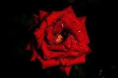 Rose nachts nach Regen Lizenzfreies Stockfoto