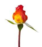 Rose naranja-amarilla aislada Imagen de archivo libre de regalías