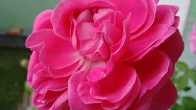 Rose natural Fotos de archivo libres de regalías
