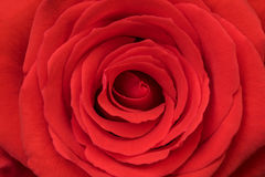 Rose. Natural red rose close up, beautiful Valentine day background Royalty Free Stock Photography