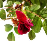 Rose аnd snow Stock Photo