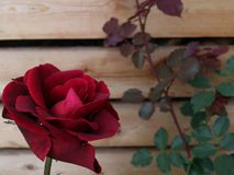 Rose neben der Wand mit Blättern Stockbild