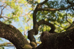 Rose-necked parakeet in Sri Lanka Royalty Free Stock Images